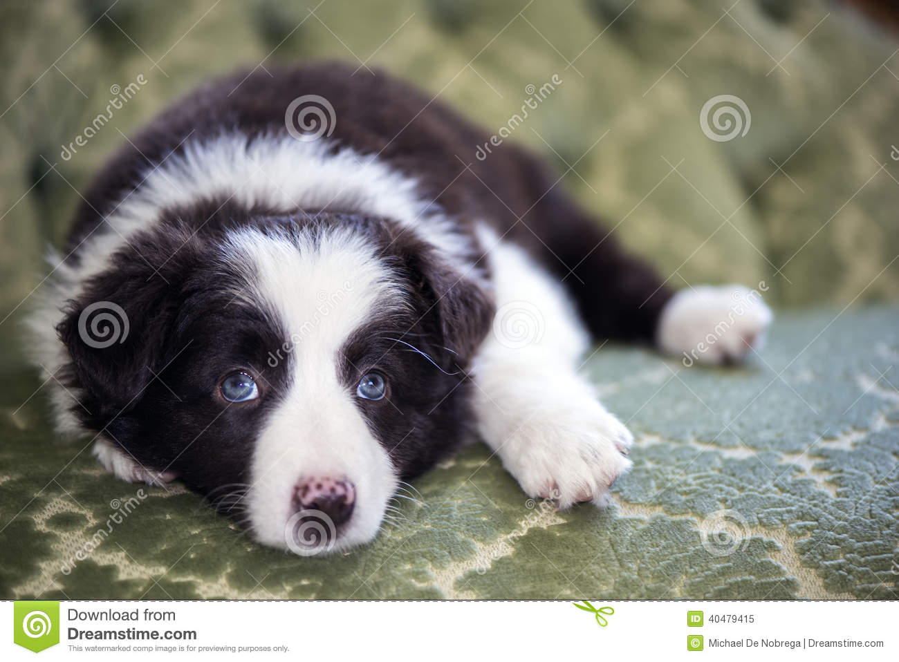 Border Collie Puppy Stock Image Image Of Beautiful Border 40479415