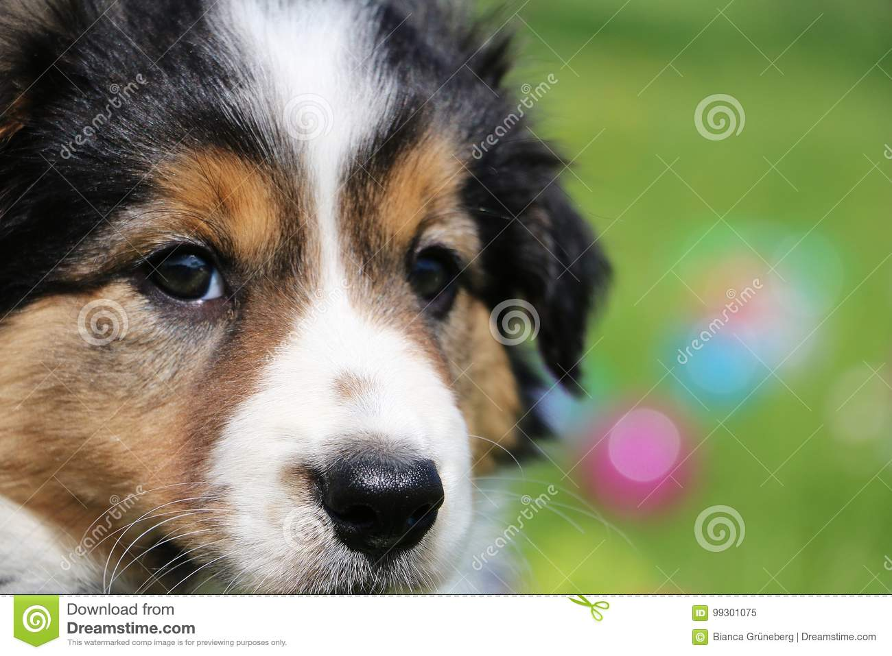 Border Collie Puppy Portrait Stock Image Image Of Field Little 99301075