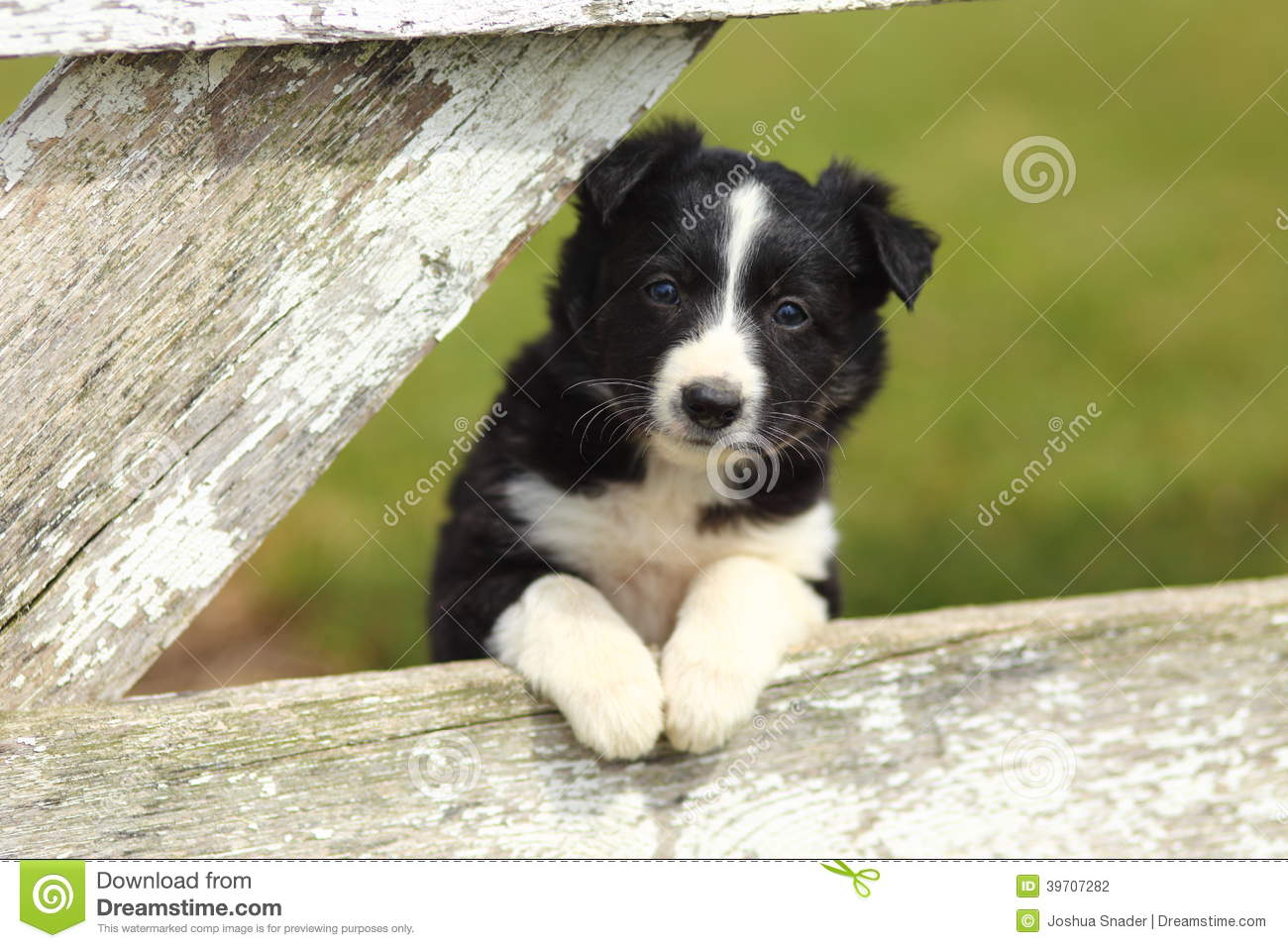 Border Collie Puppy Resting Paws On Rustic White Wooden Fence Stock Photo Image Of Young Border 39707282