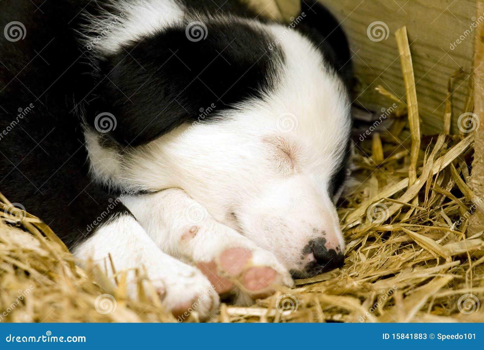 A Border Collie Puppy Sleeping Stock Photos Image 15841883