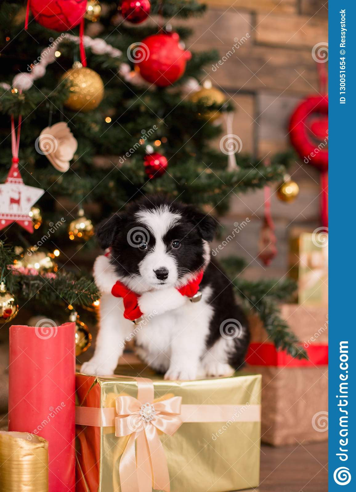 Border Collie puppy on white background of Christmas decorations