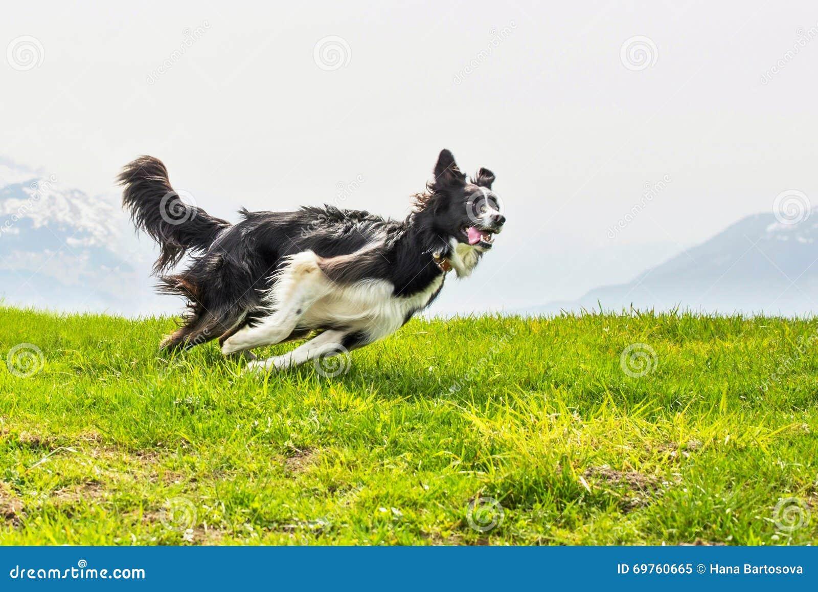 Border collie rápido y elegante corriente del perro