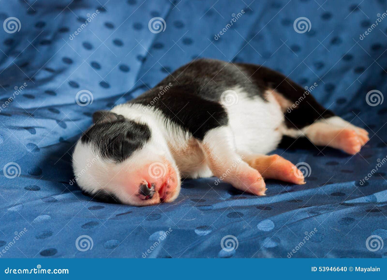 Border collie recién nacido