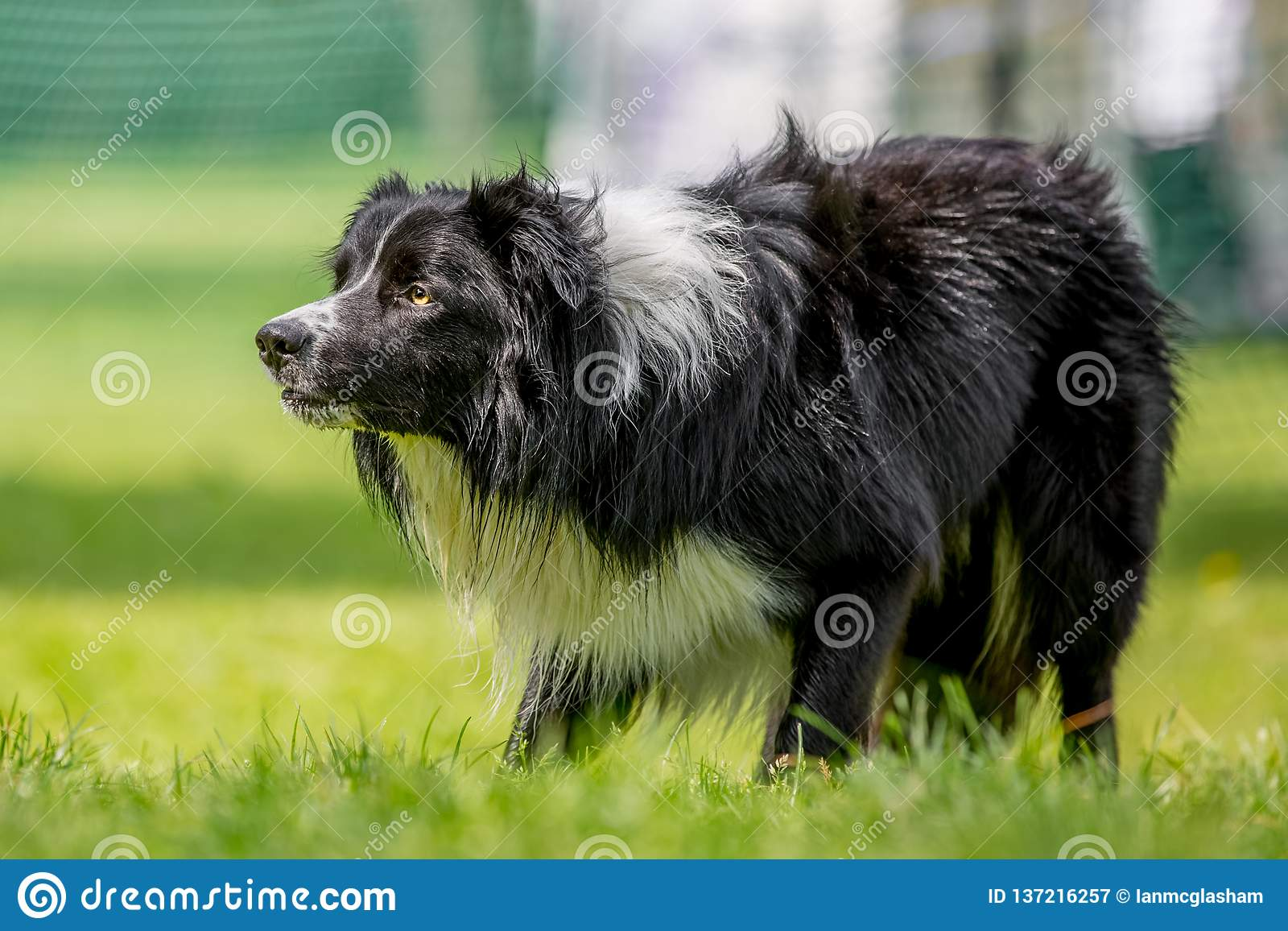 Border Collie sheepdog staring at something - maybe sheep on grass