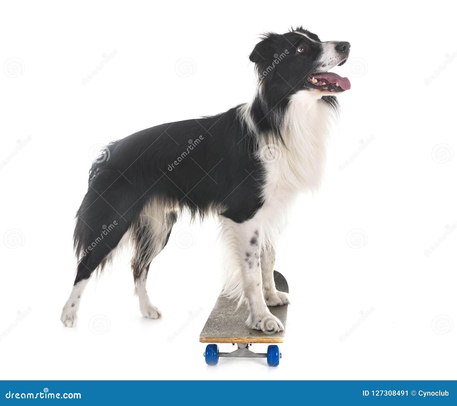 Border collie und Skateboard
