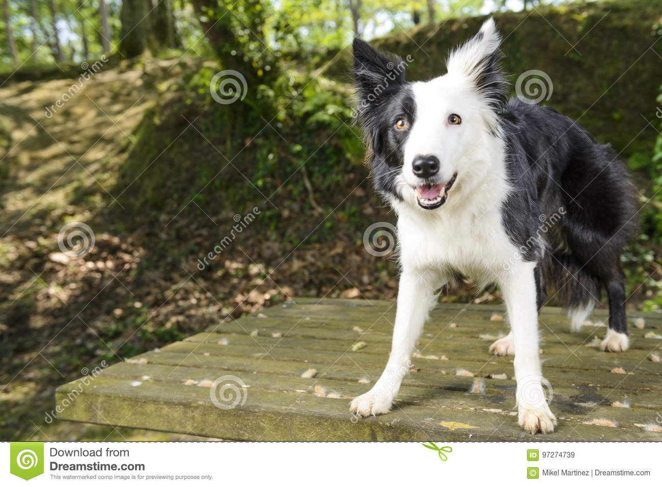 Border Collie w krzaku