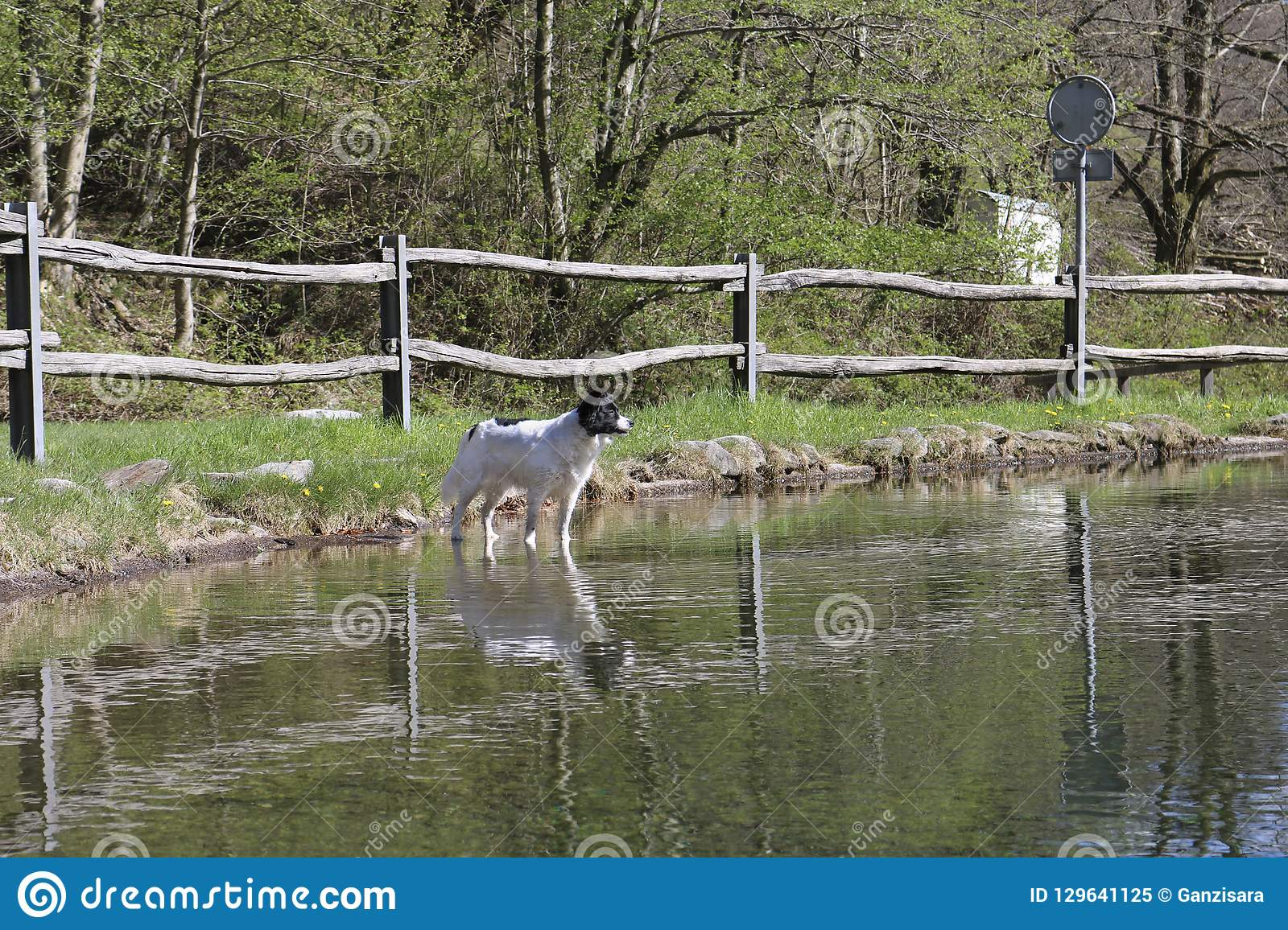 Border collie on the water mirror