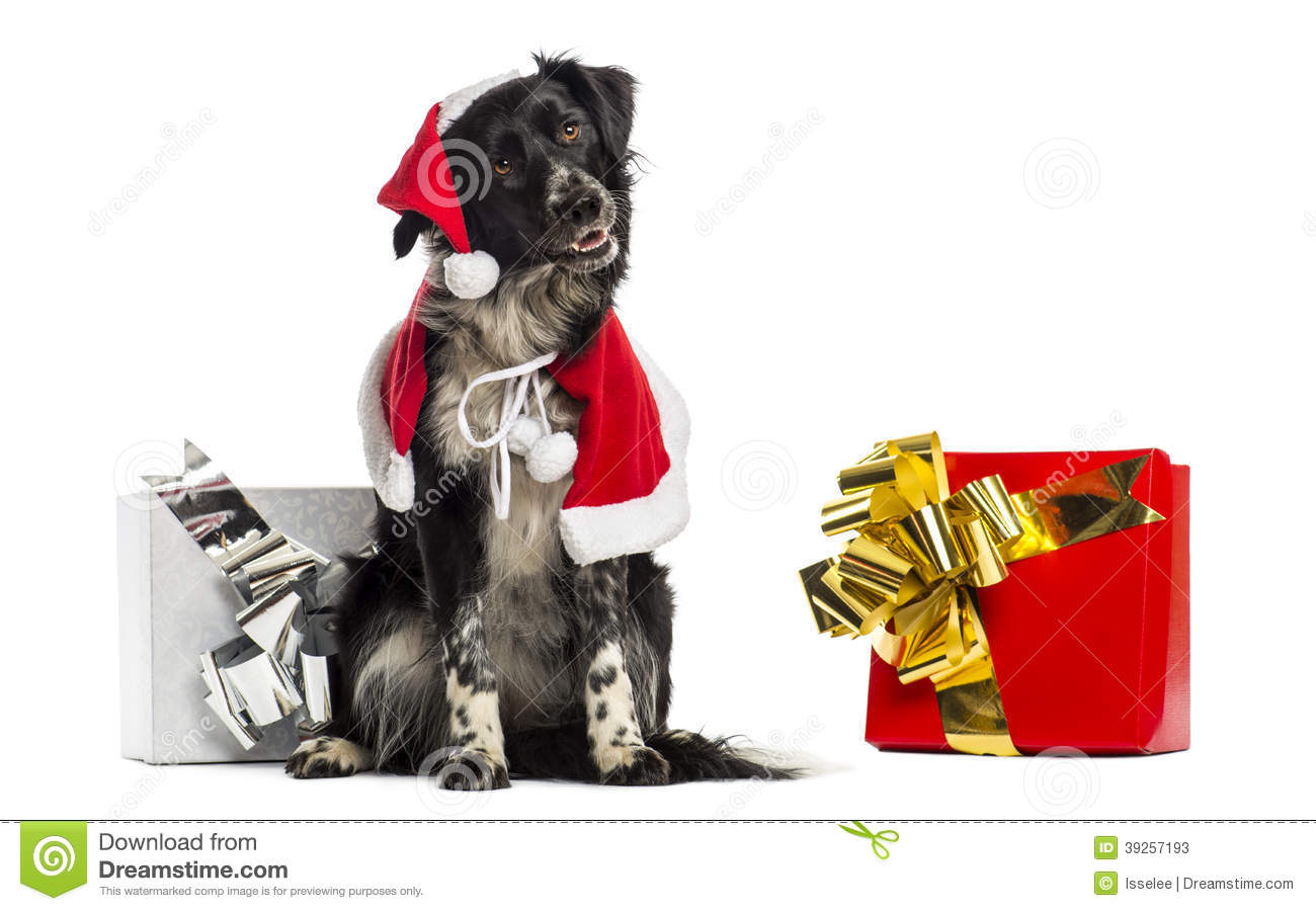 Border Collie wearing Christmas clothes, sitting next to present