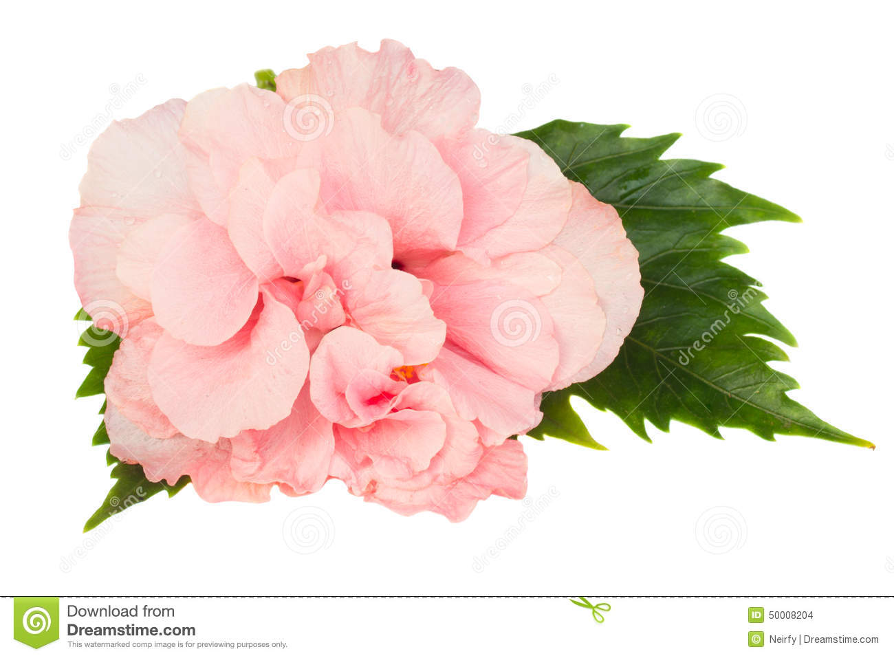 Border Of Colorful Hibiscus Flowers Stock Photo Image Of Nature