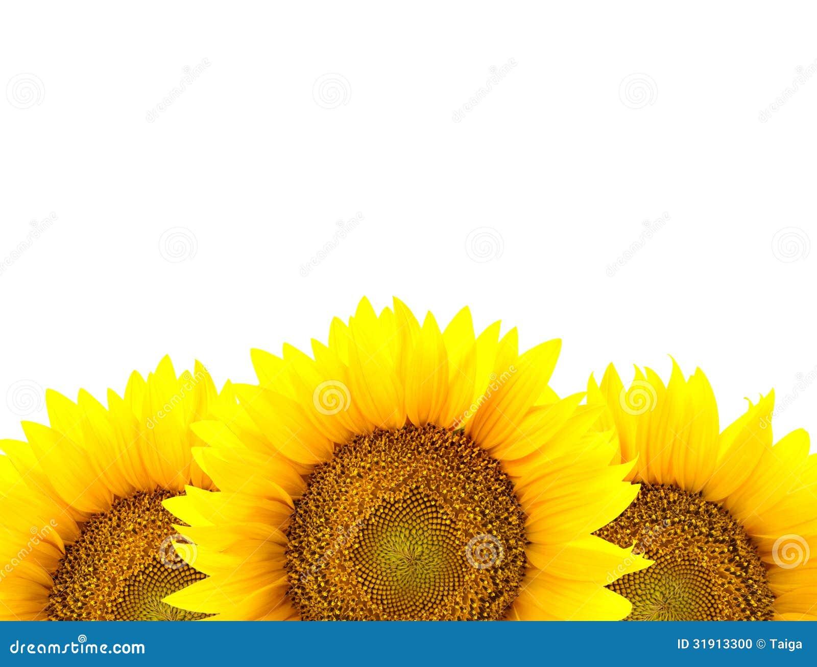 Border Of Large Sunflowers Isolated On White / Flowers ...