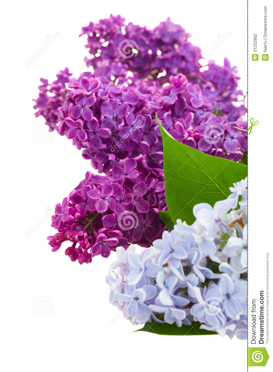 Border Of Lilac Stock Photography Image 31252902