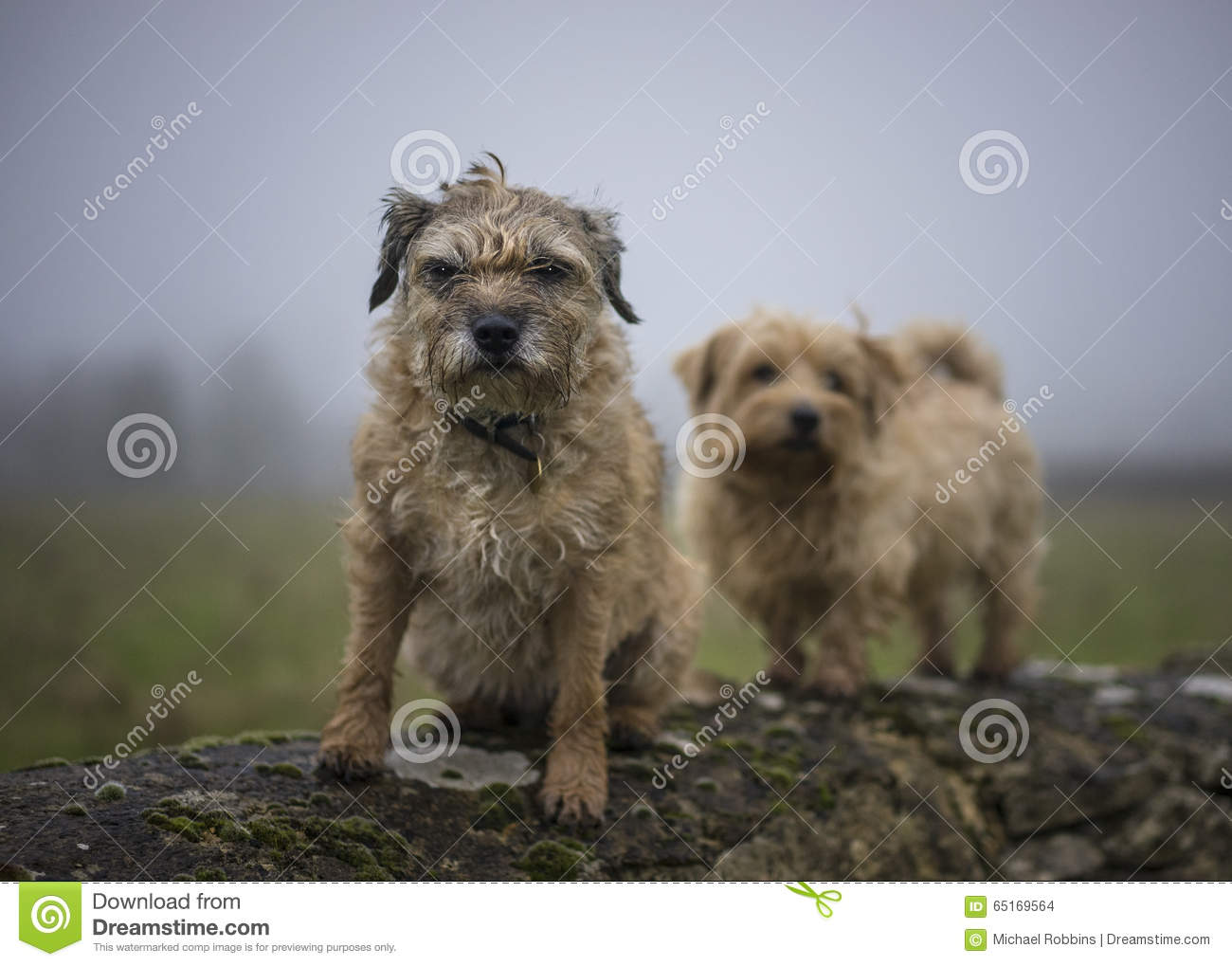 Border and Norfolk Terrier on wall
