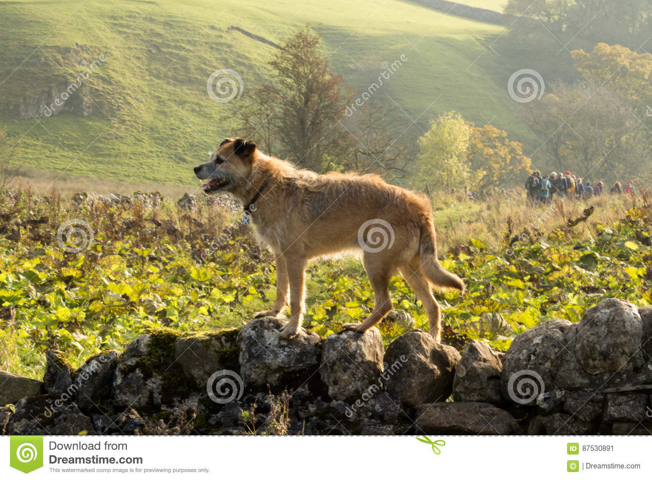 Border Terrier on Wall