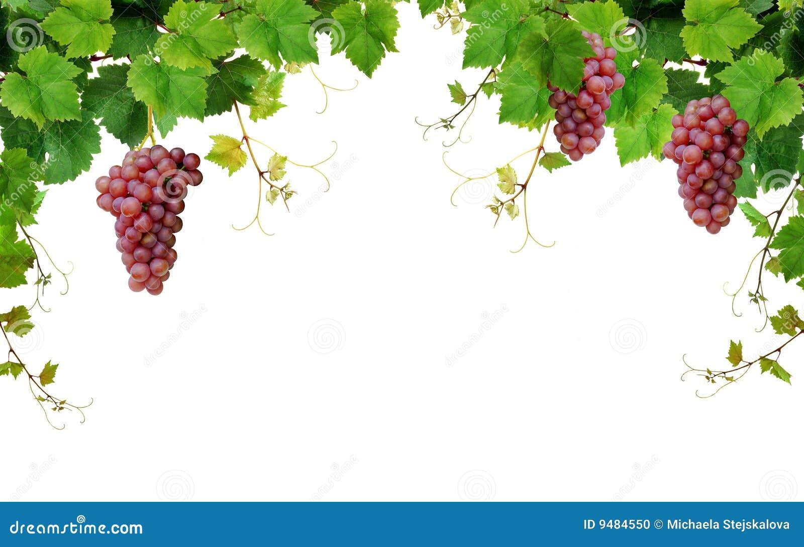 Bordo della vigna con gli acini d uva