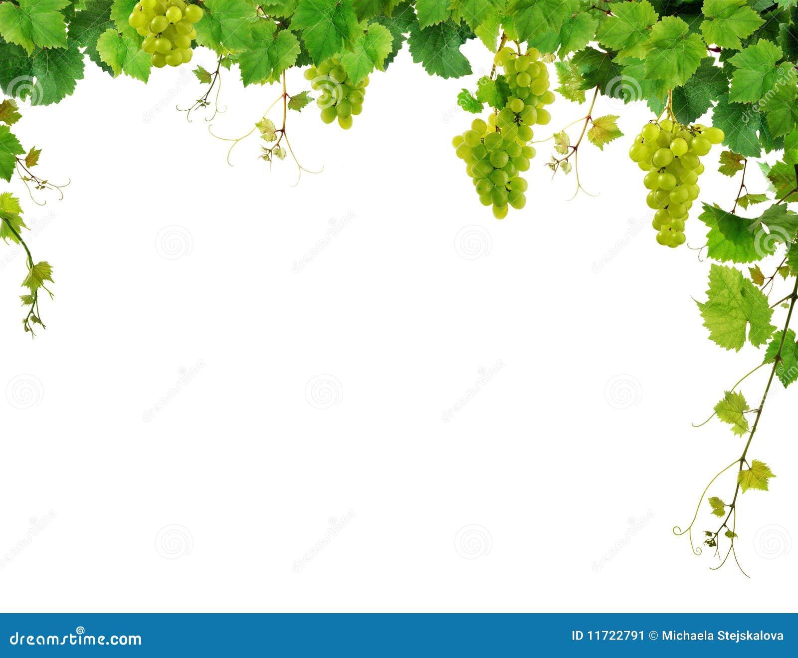Bordo della vigna con l uva
