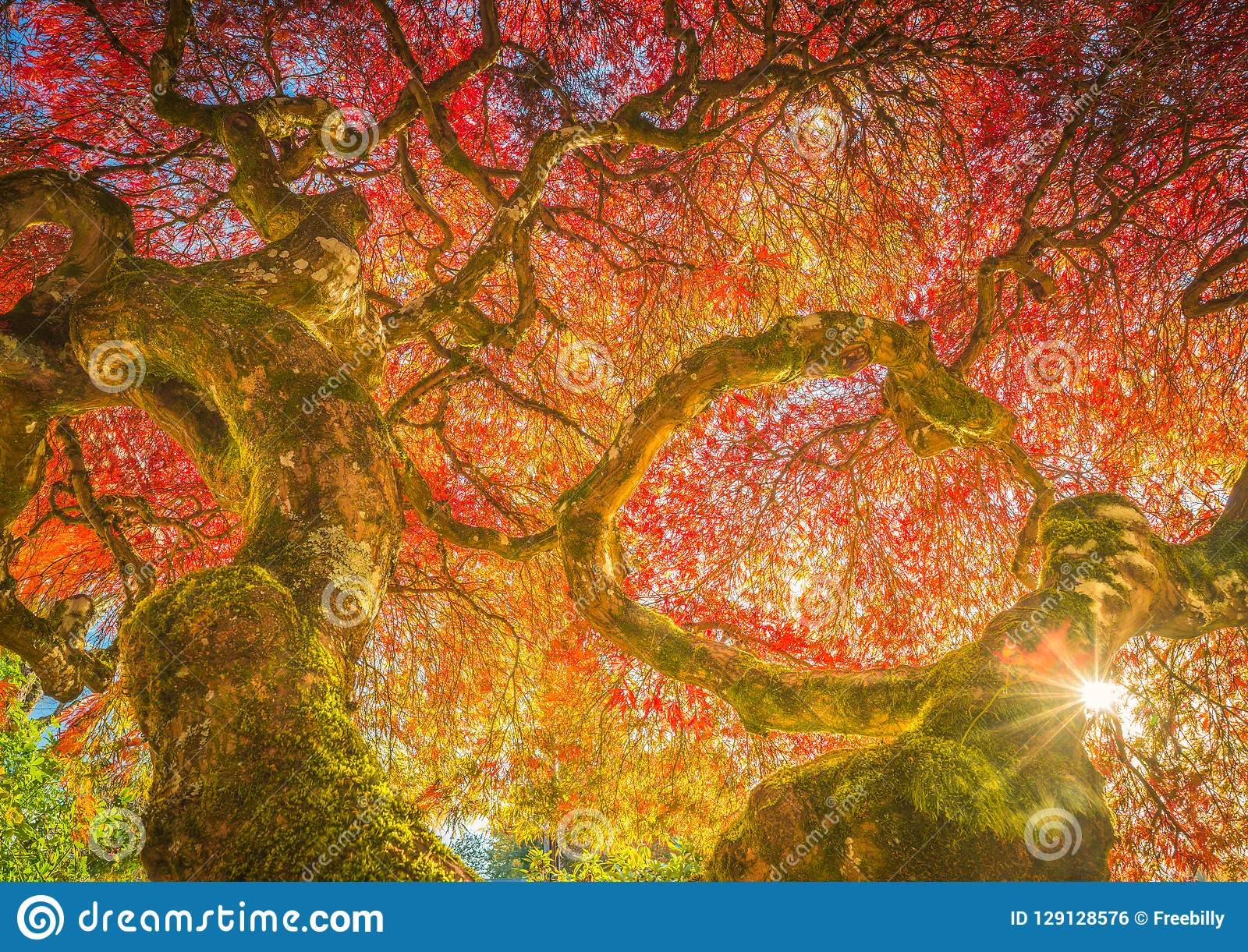Bordo japonês do século em cores do outono