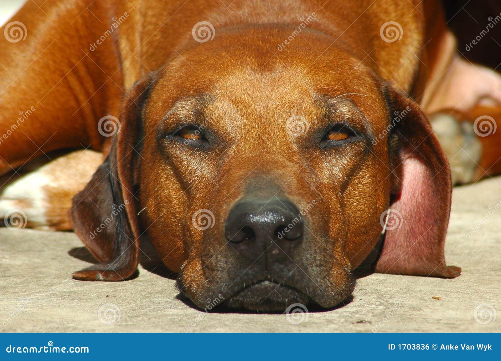 Bored hond