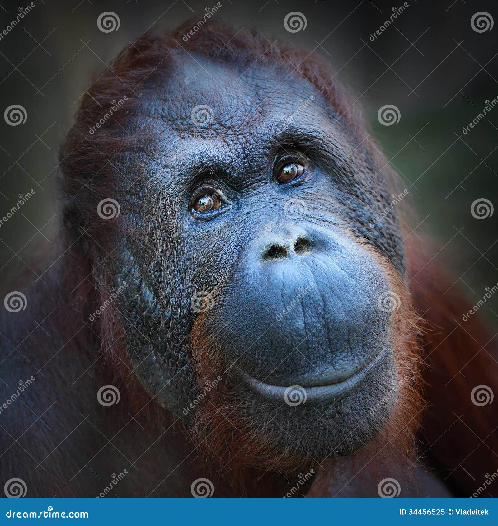 Bornean猩猩(类人猿pygmaeus)。