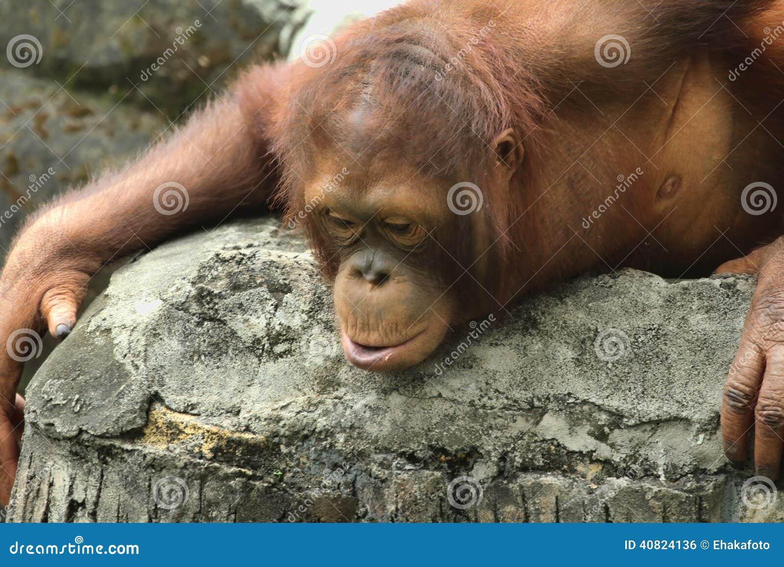 当母猩猩没有一个大肥胖团和相对地短发时 €