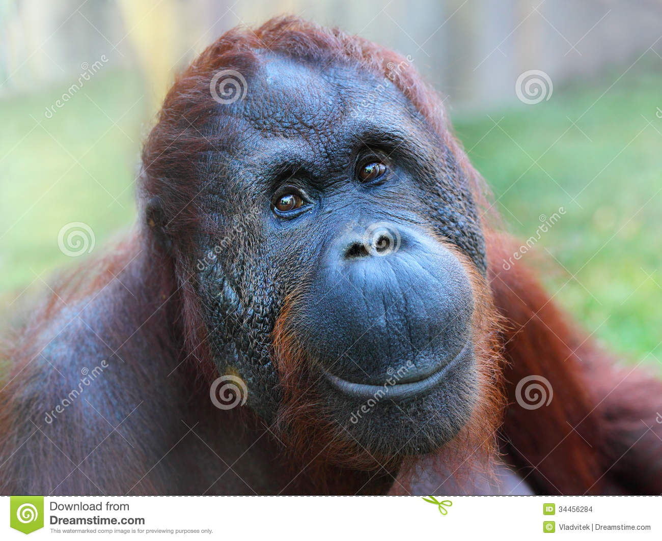 Orangutan Smiling The bornean orangutan  pongoOrangutan Smiling Teeth