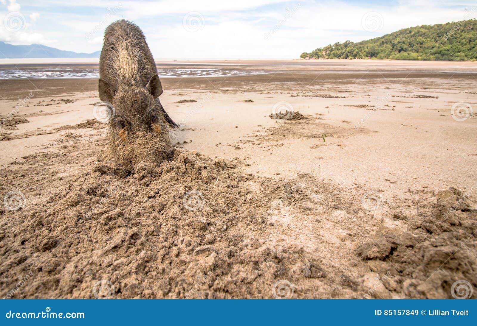 Bornean uppsökte svinsusen Barbatus på den Bako nationalparkstranden som söker för mat i sanden, Kuching, Malaysia, Borneo