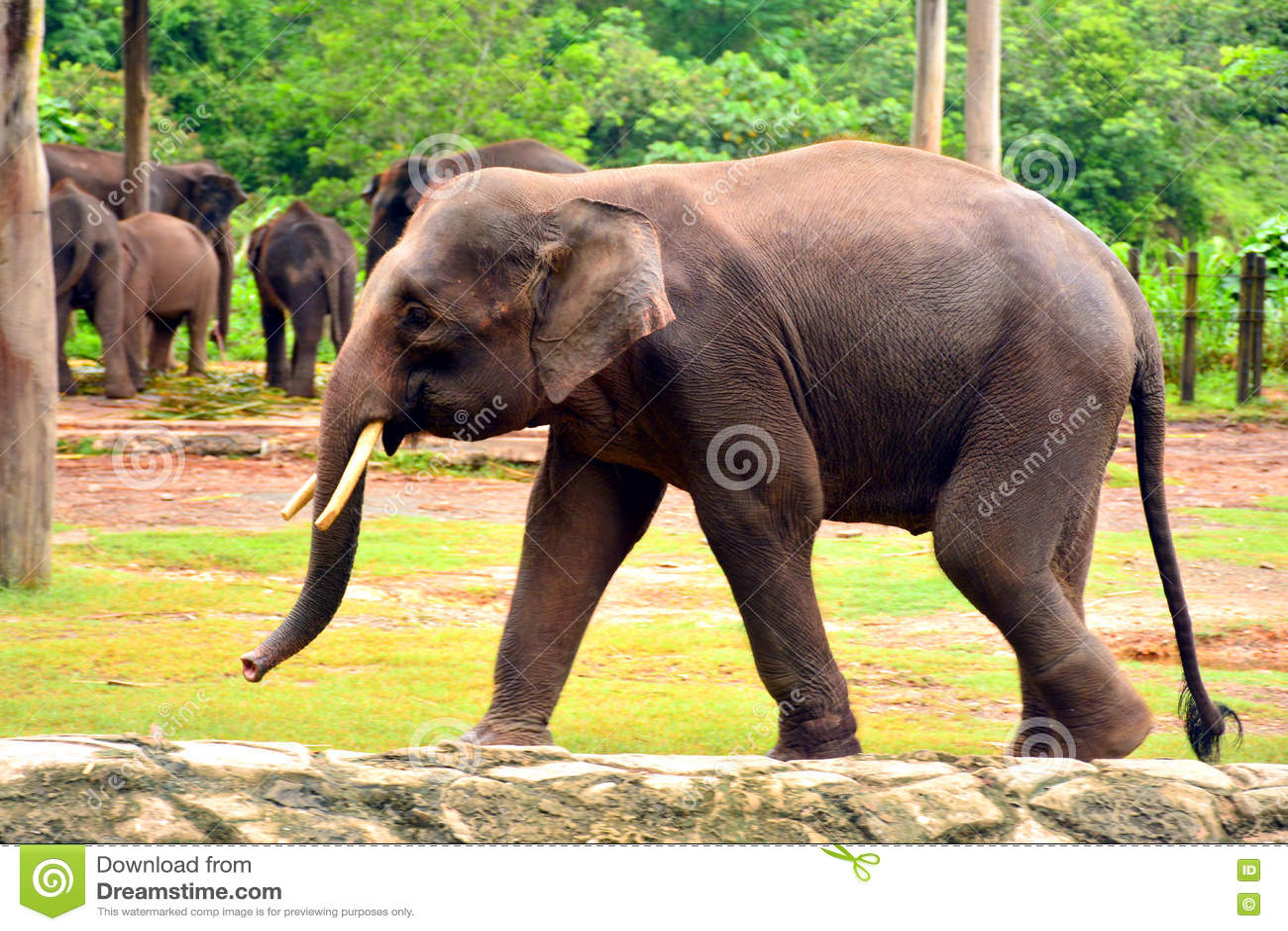 Borneo Elephant, Also Called The Borneo Pygmy Elephant Stock