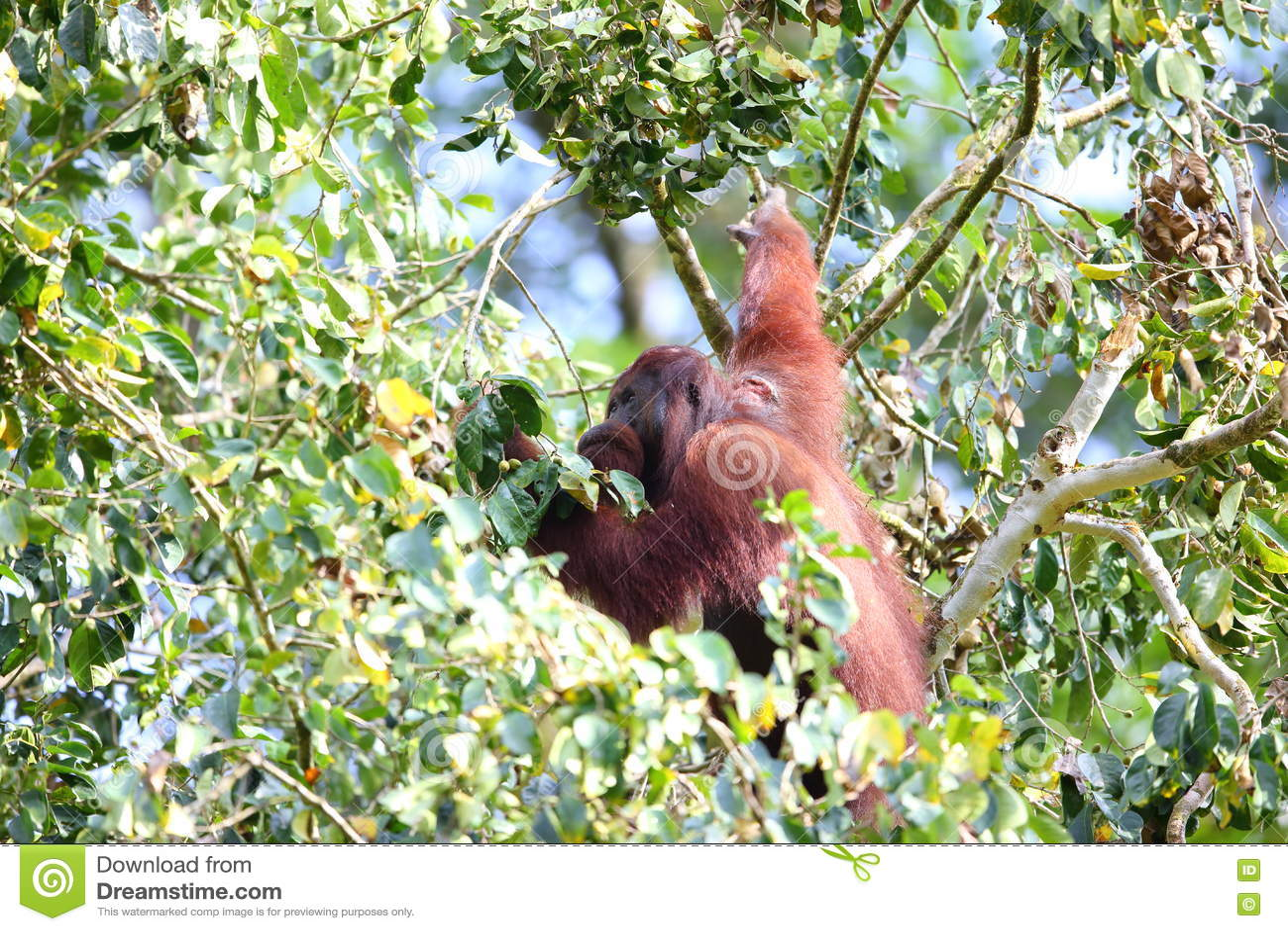 Download Borneo-Orang utan stock photo. Image of forest, rainforst - 58084350