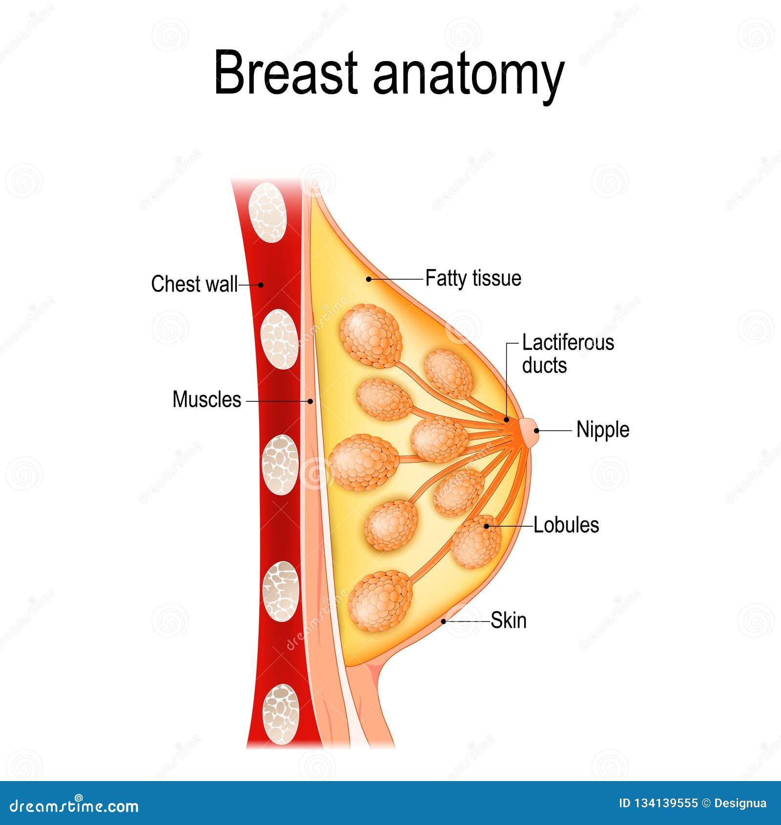 Borstanatomie