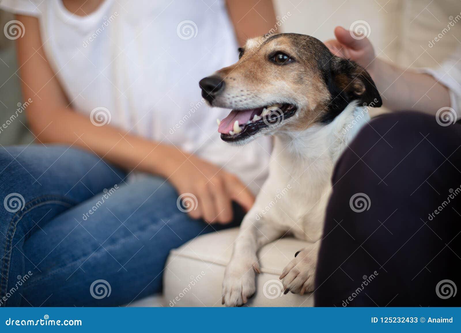 Bortskämd liten hund som tycker om en smekning på soffan