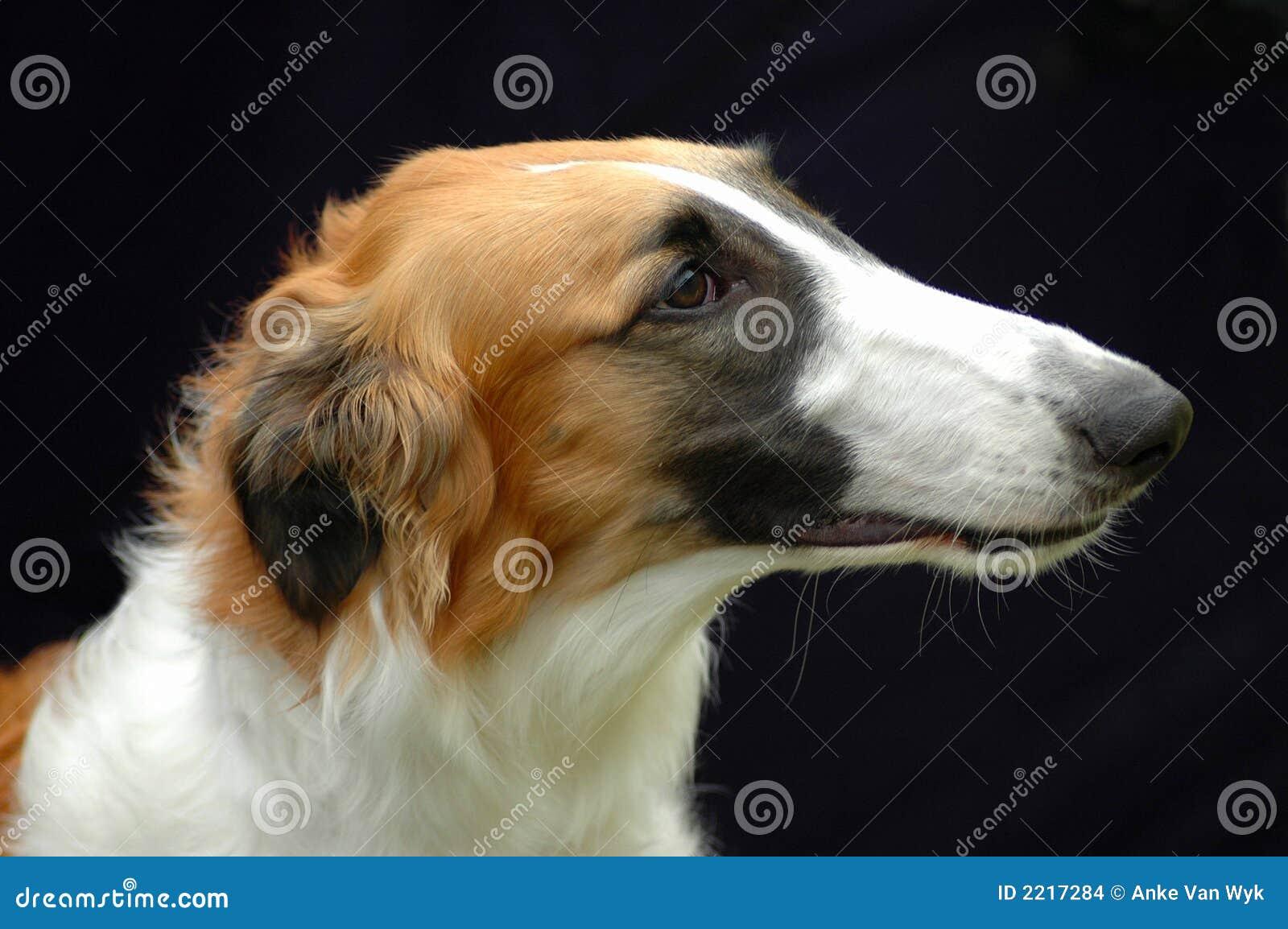 borzoi hound dog portrait stock images   image 2217284