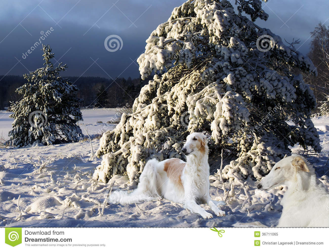 Borzoi Hounds In A Sunny Winter Scenery Royalty Free Stock ... Relaxing Dog Music Audio