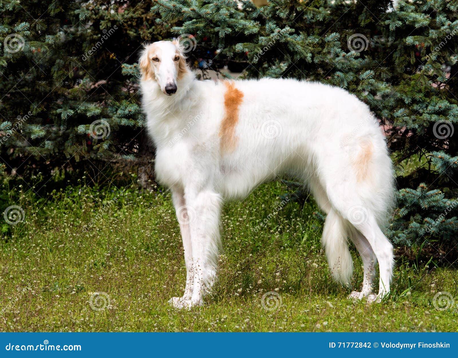 Borzoi Rosyjski biel