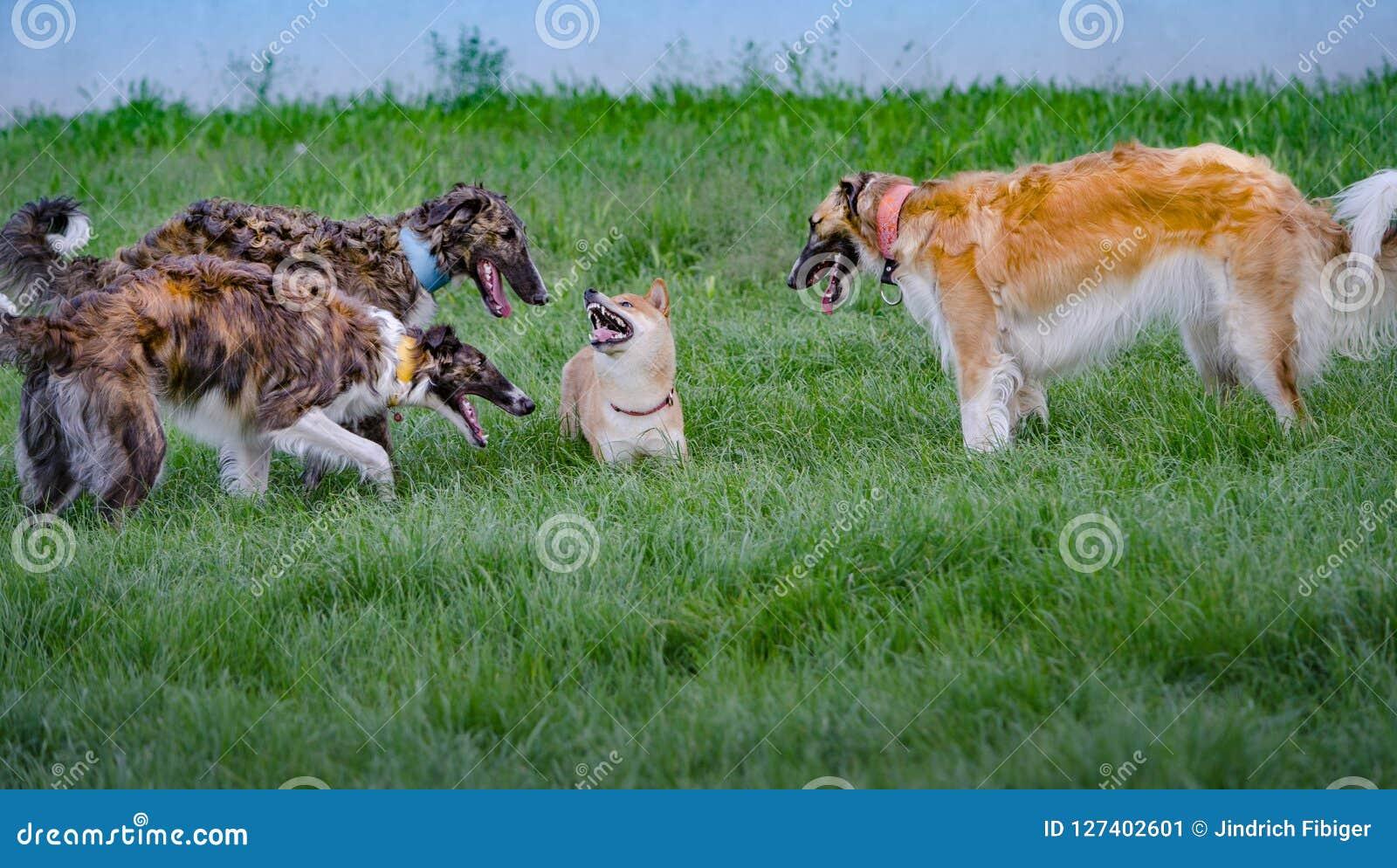 Borzois Is Hunting Shiba Inu I Stock Image Image Of White Dogs