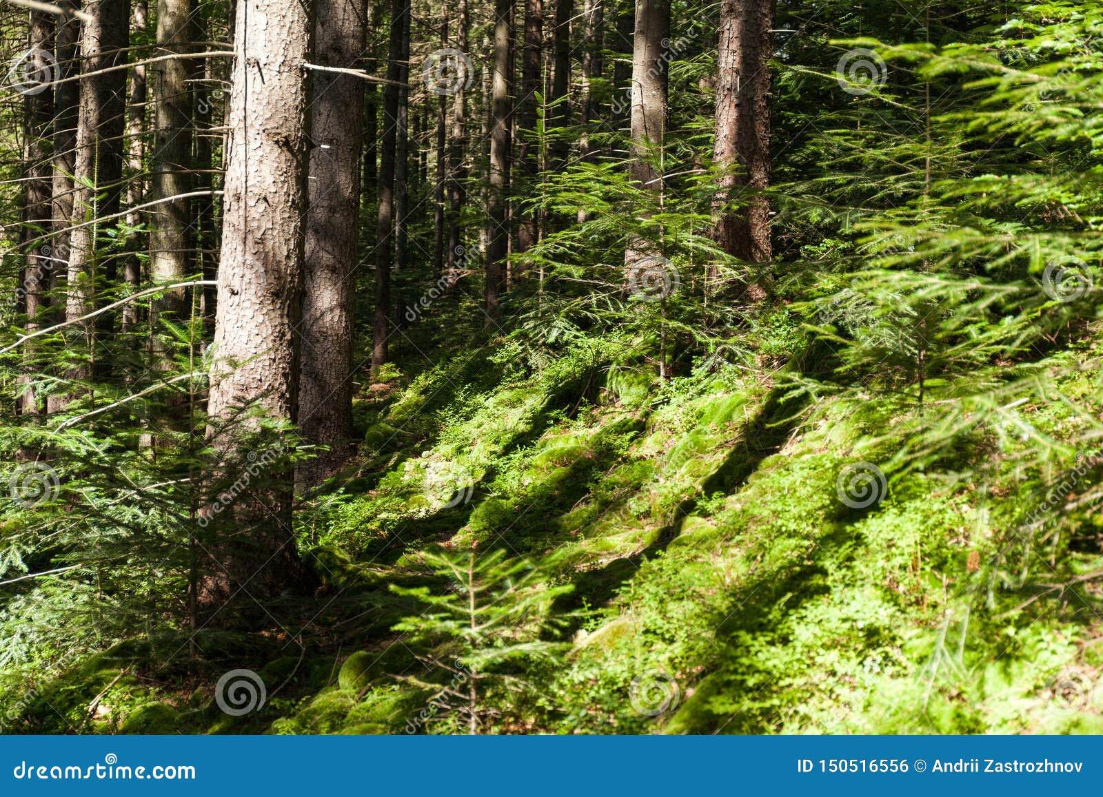 Bos de boomachtergrond van de wildernispijnboom, het heldere landschap van de de herfstaard