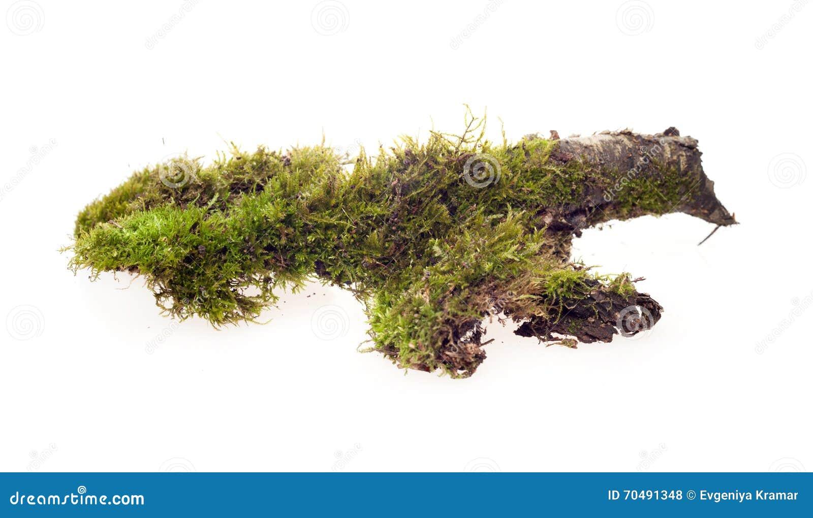 Bos geïsoleerd mos