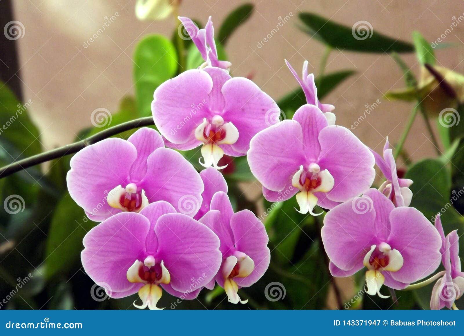 Bos van de exotische violette die bloem van de mottenorchidee in Mahabaleshwar, India wordt geschoten