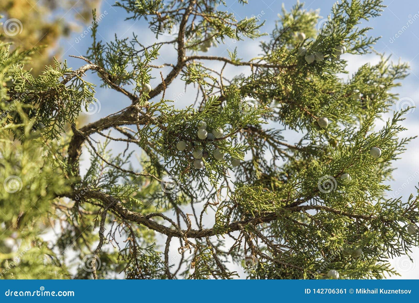 Bos van jeneverbessen op een groene tak in de herfst