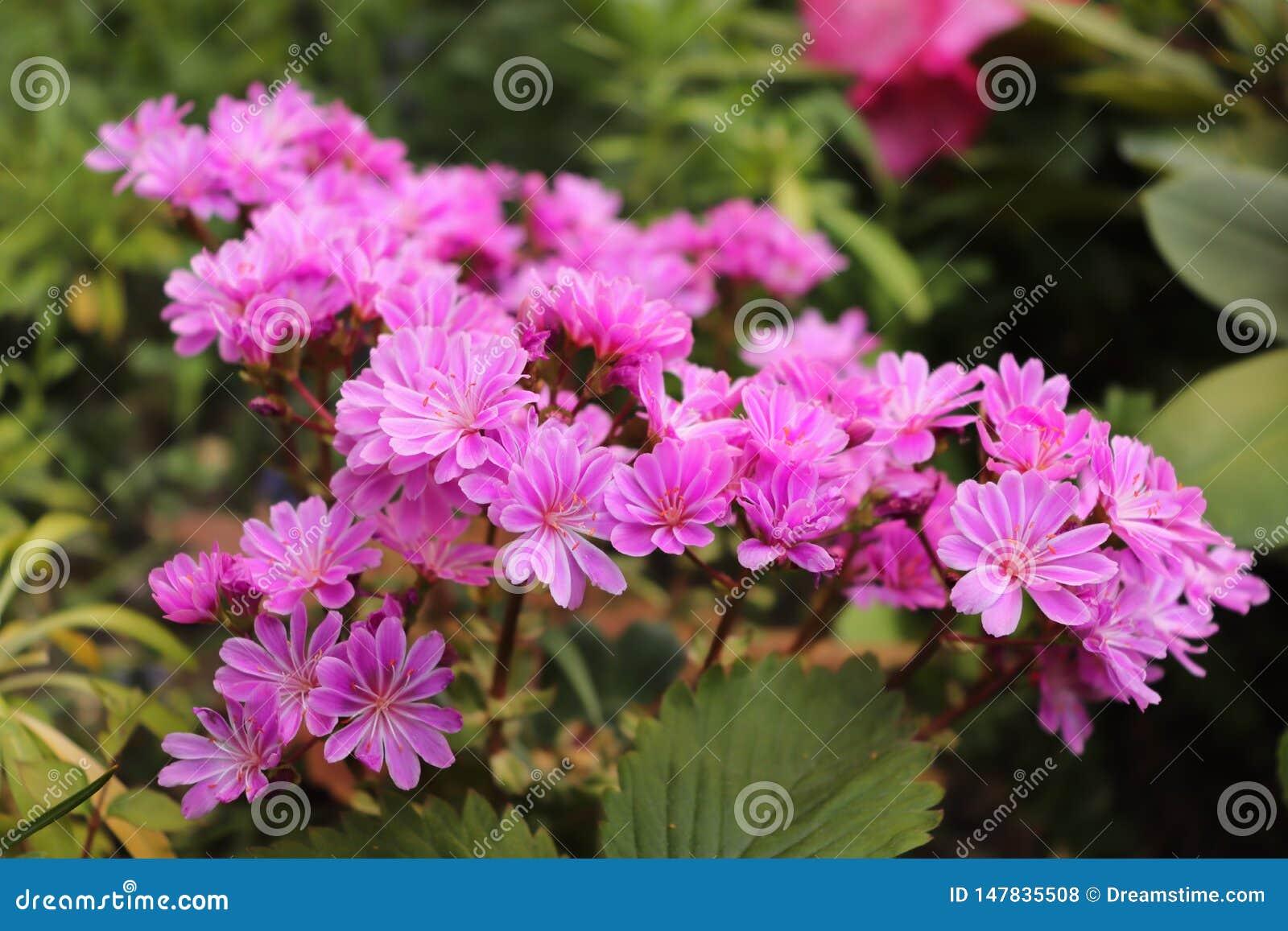 Bos van kleine purpere bloemen