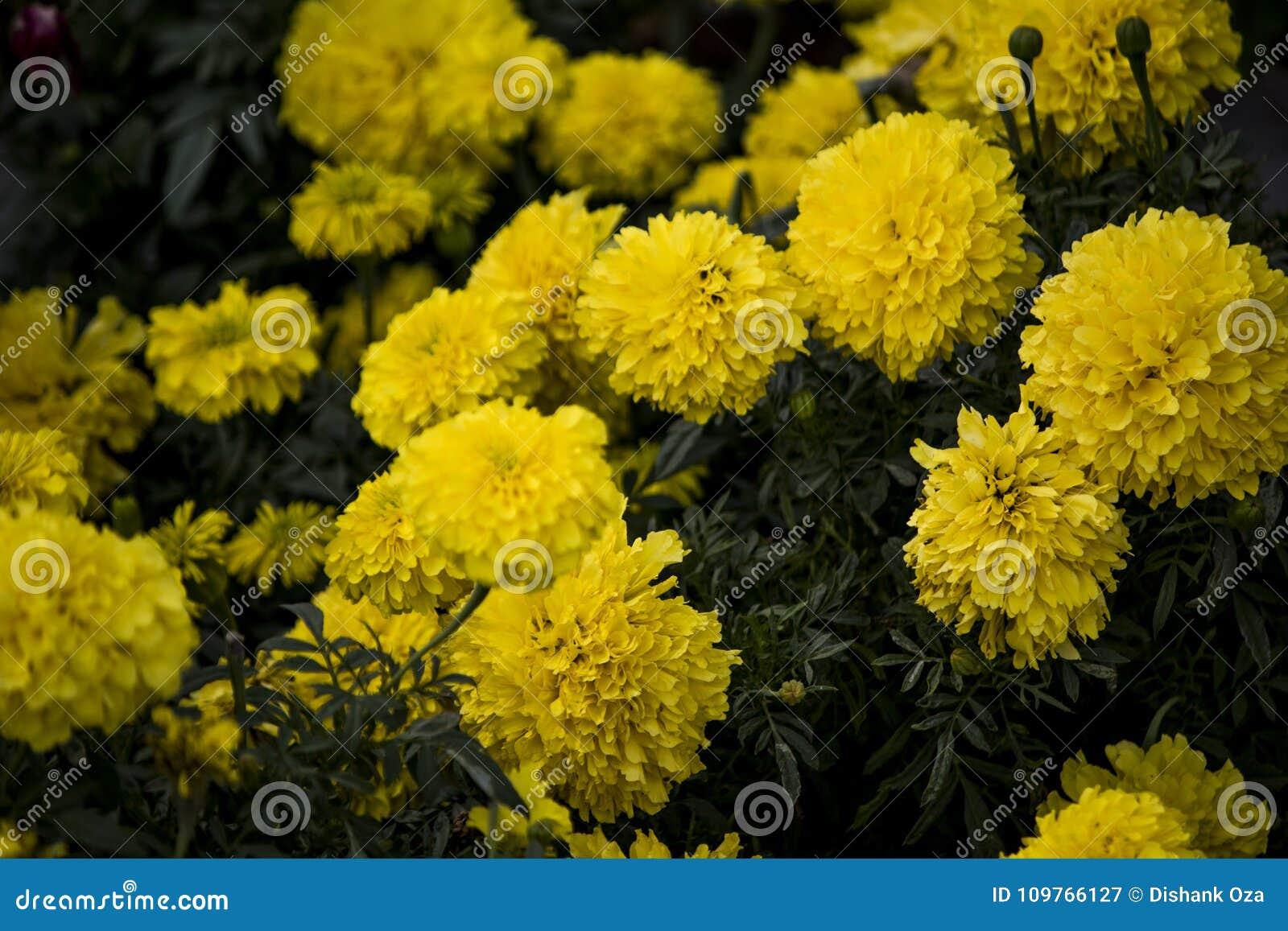 Bos van mooie gele bloemen die in zonsondergang bloeien