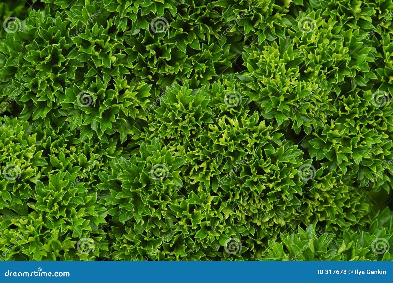 Bos van peterselie
