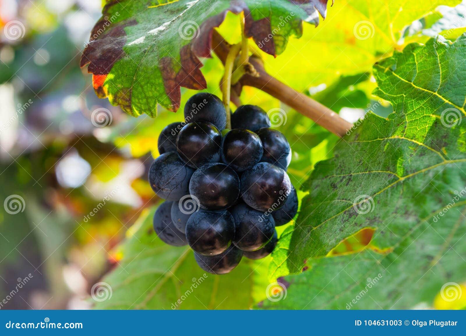 Download Bos Van Purpere Druiven Die Op Wijnstokvoorraad Bij Wijnwerf Hangen, Spanje Stock Afbeelding - Afbeelding bestaande uit wijnstok, nave: 104631003