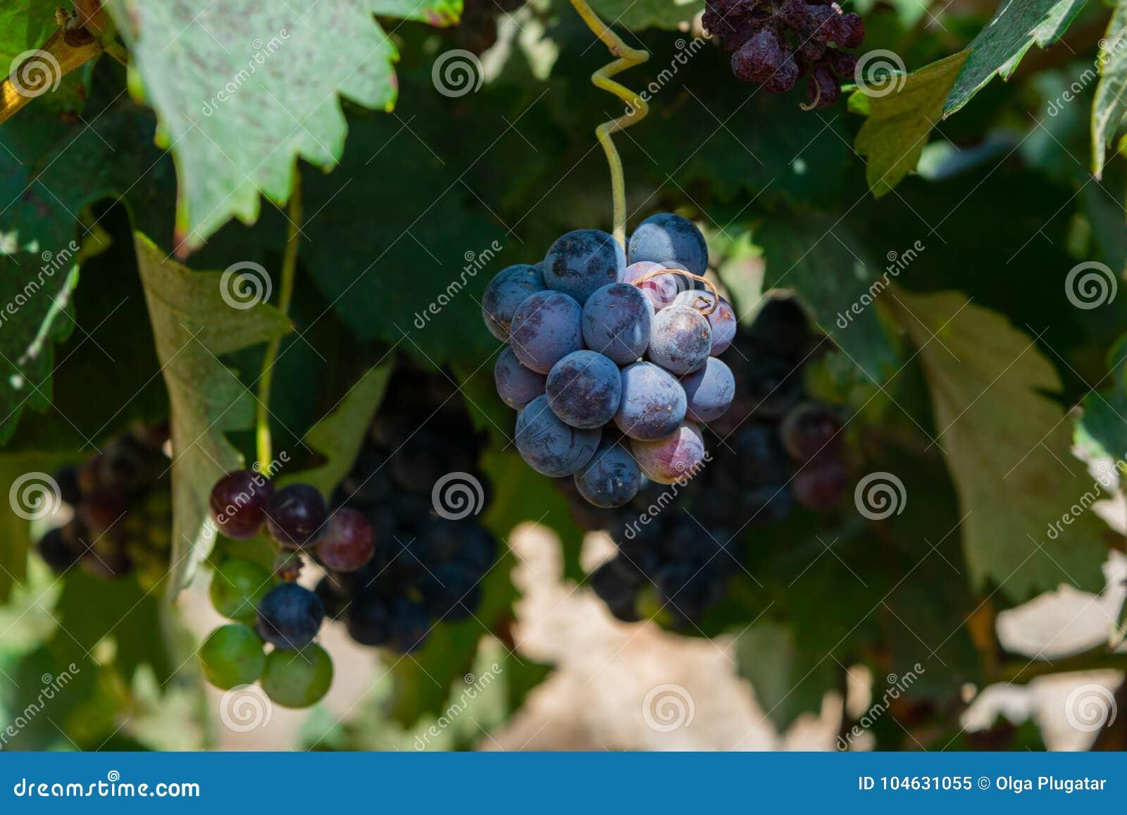 Download Bos Van Purpere Druiven Die Op Wijnstokvoorraad Bij Wijnwerf Hangen, Spanje Stock Afbeelding - Afbeelding bestaande uit druif, naughty: 104631055