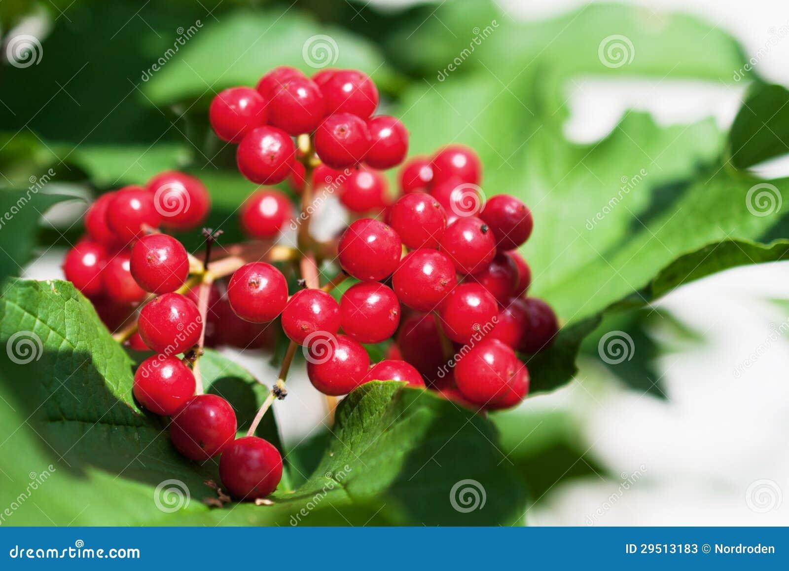 Bos van rode viburnum