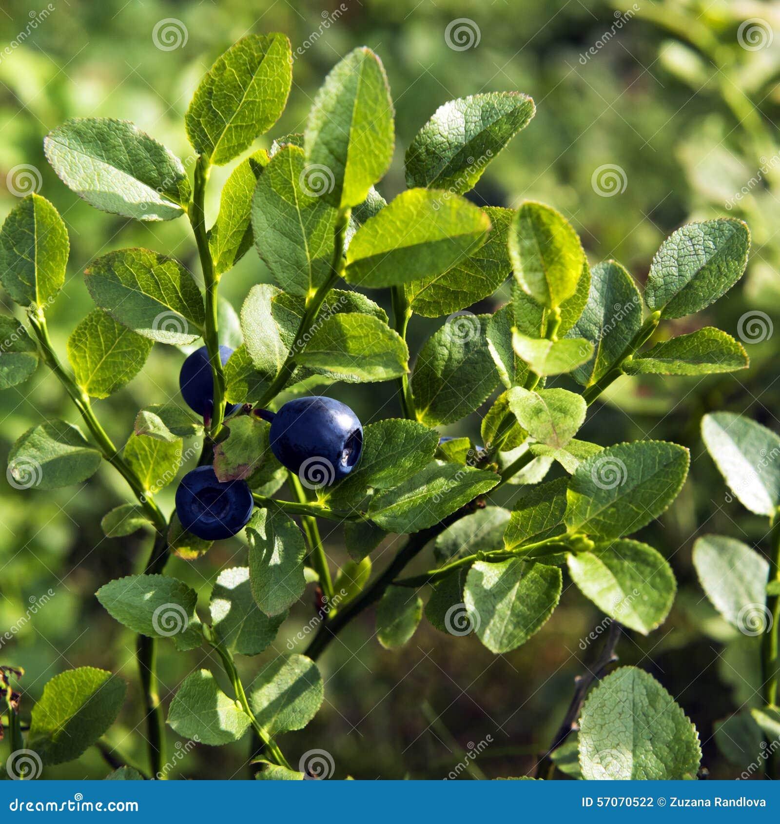 Bosbes, blauwe bosbes of Europese bosbes