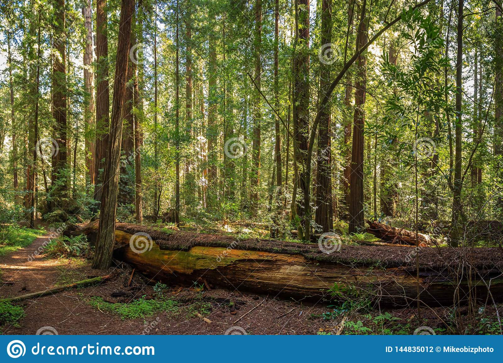 Boschetto pacifico della sequoia