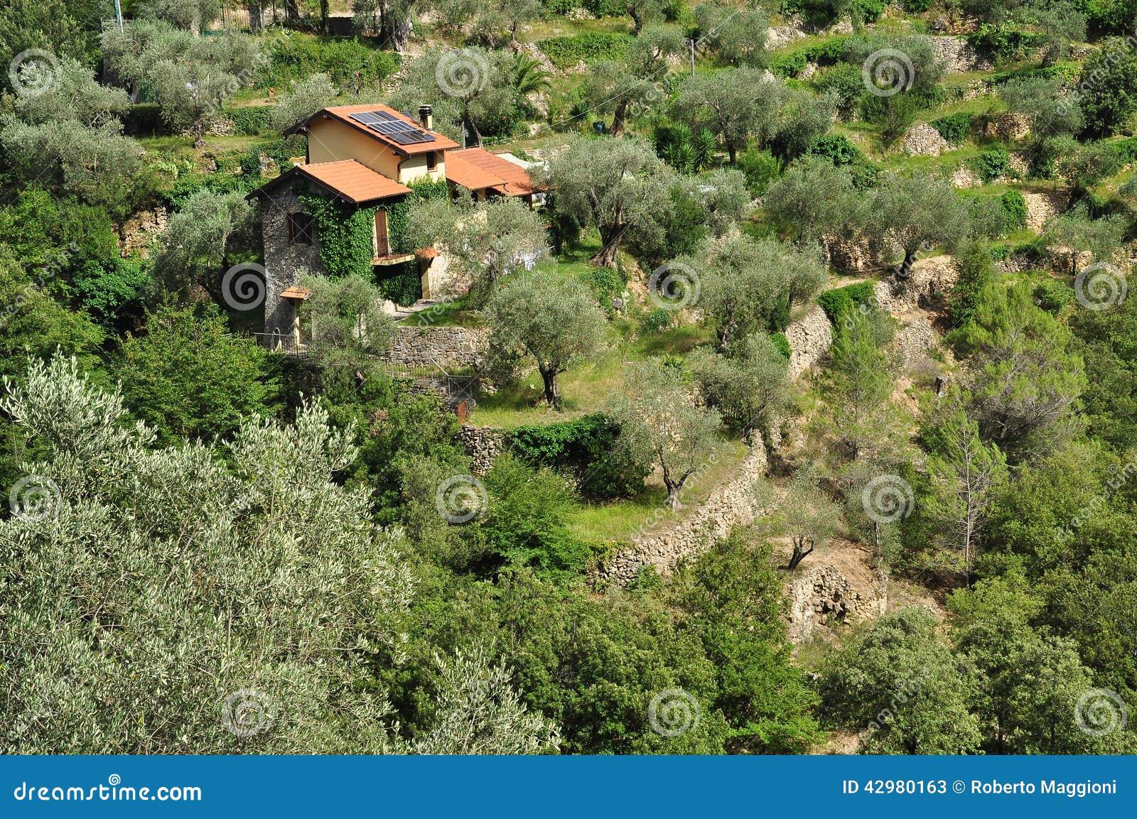 Boschetto a terrazze di olivo in liguria italia for Acquisto piante olivo