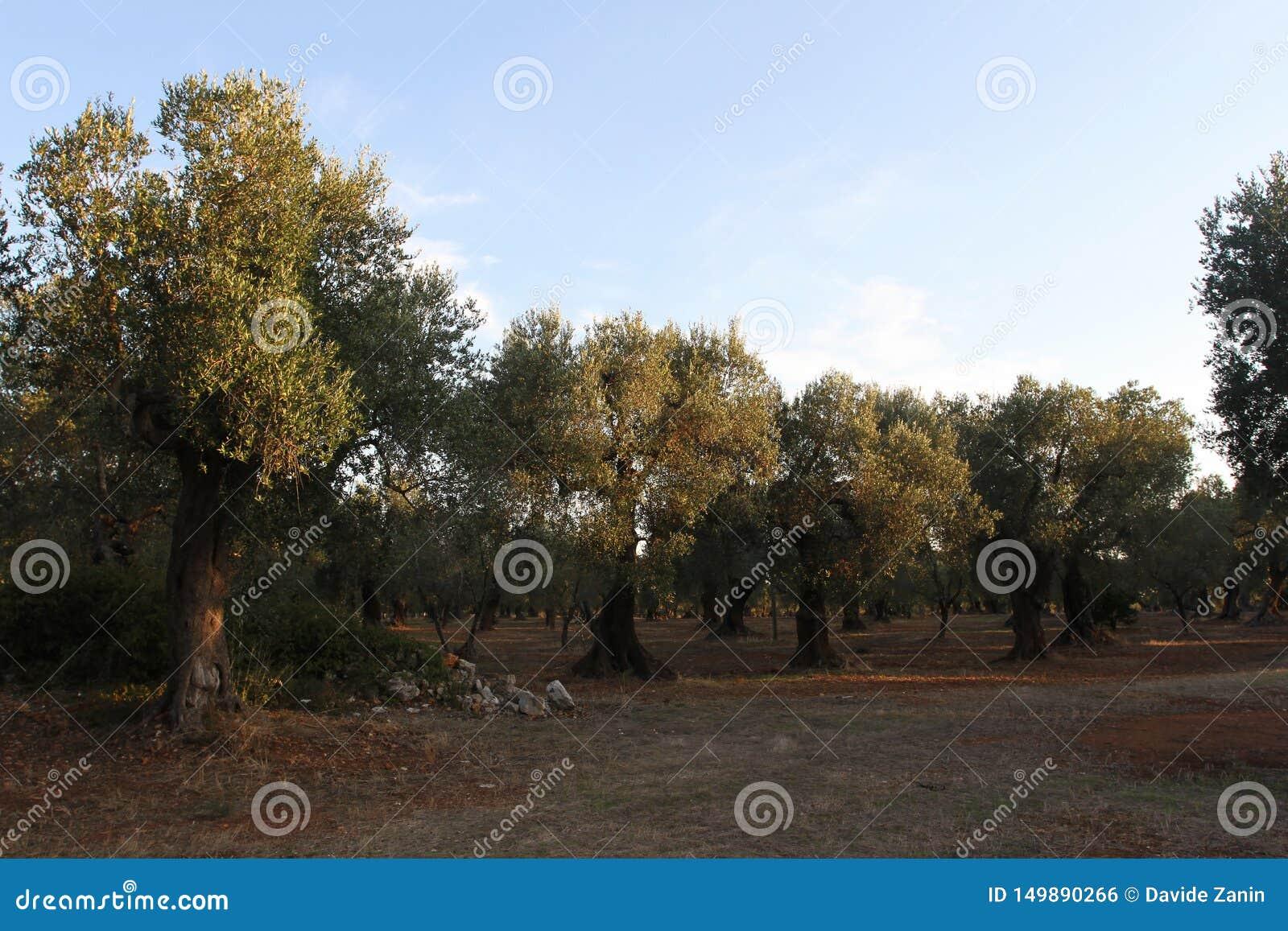 Bosje van olijfbomen in Salento in Puglia in Itali?