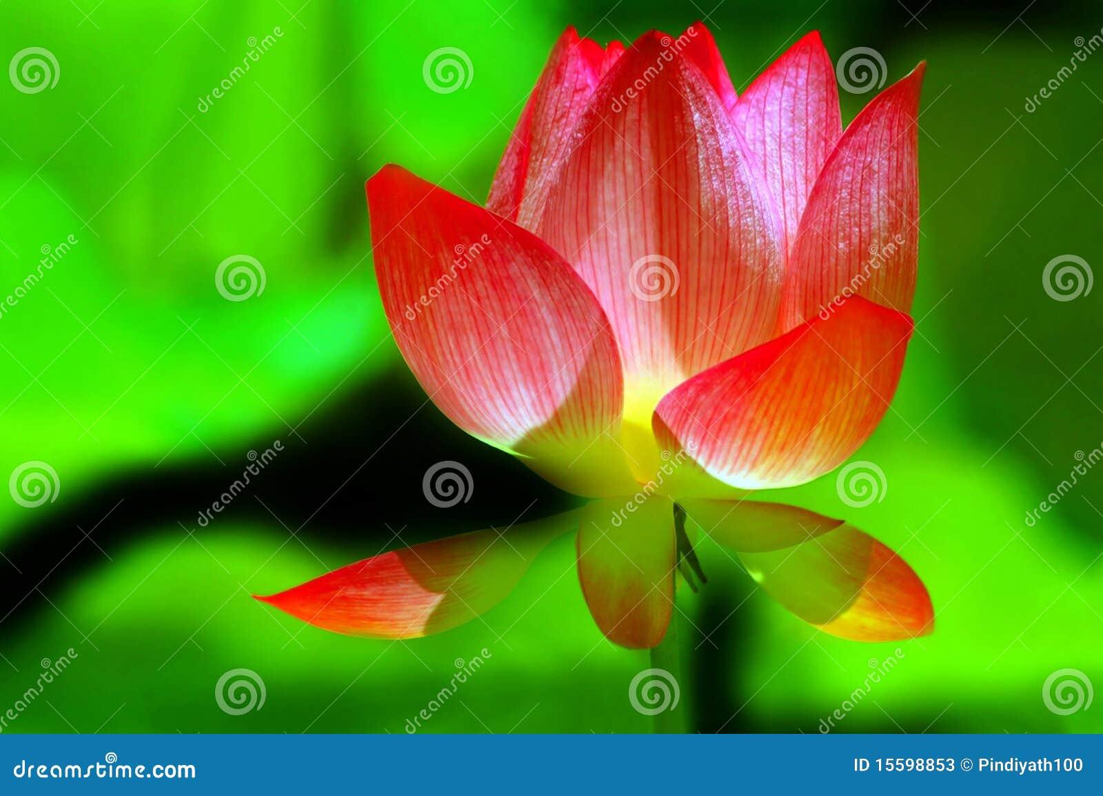 Boski lotos