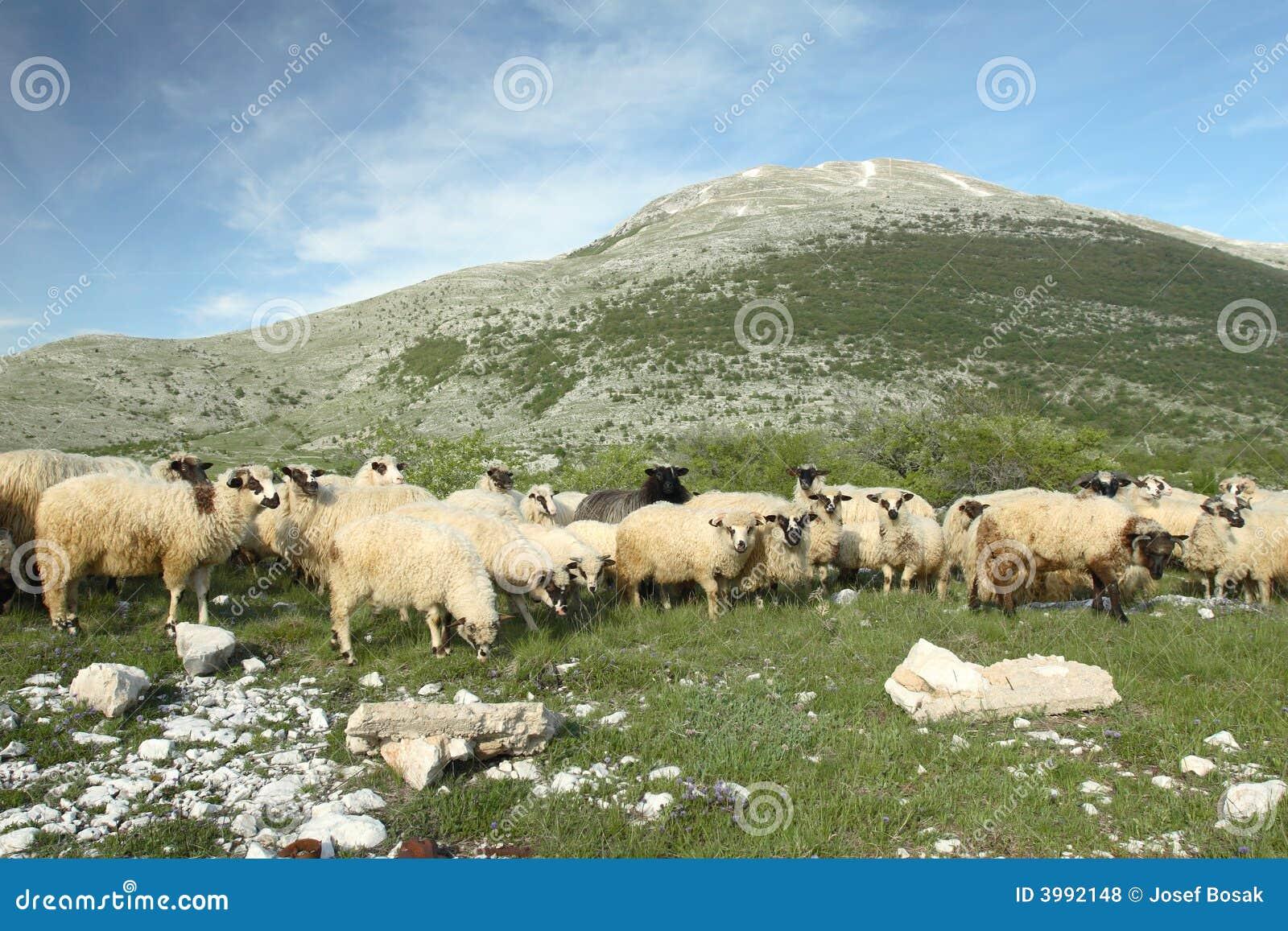 Bosnien som betar herzegovina sheeps