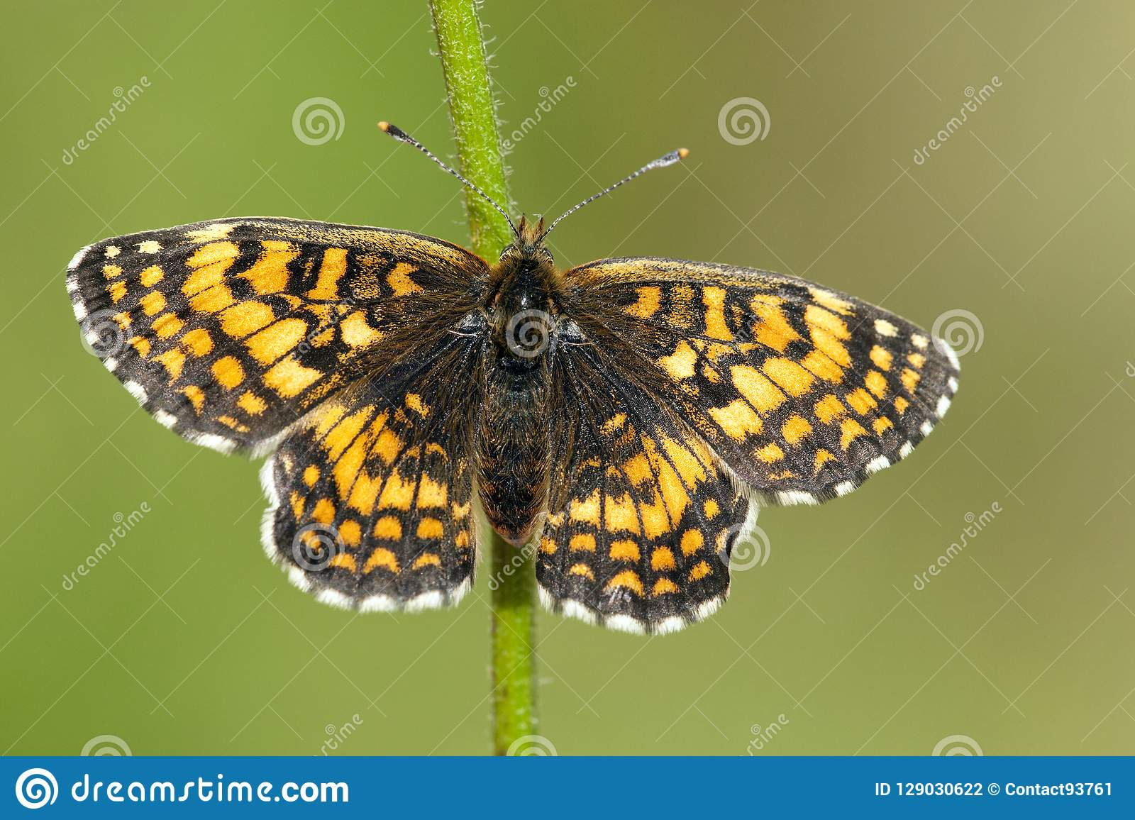 Bosparelmoervlinder,荒地贝母, Melitaea athalia
